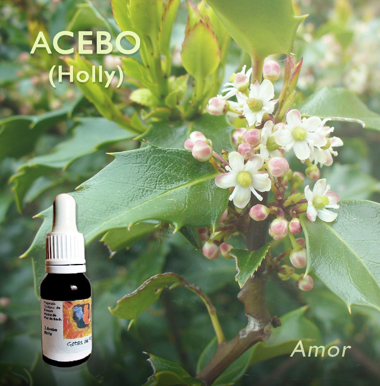 Flores de Bach: Acebo (Holly) Amor