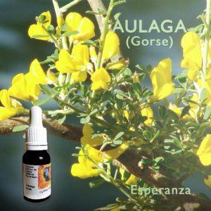 Flores de Bach: Aulaga (Gorse) - Esperanza