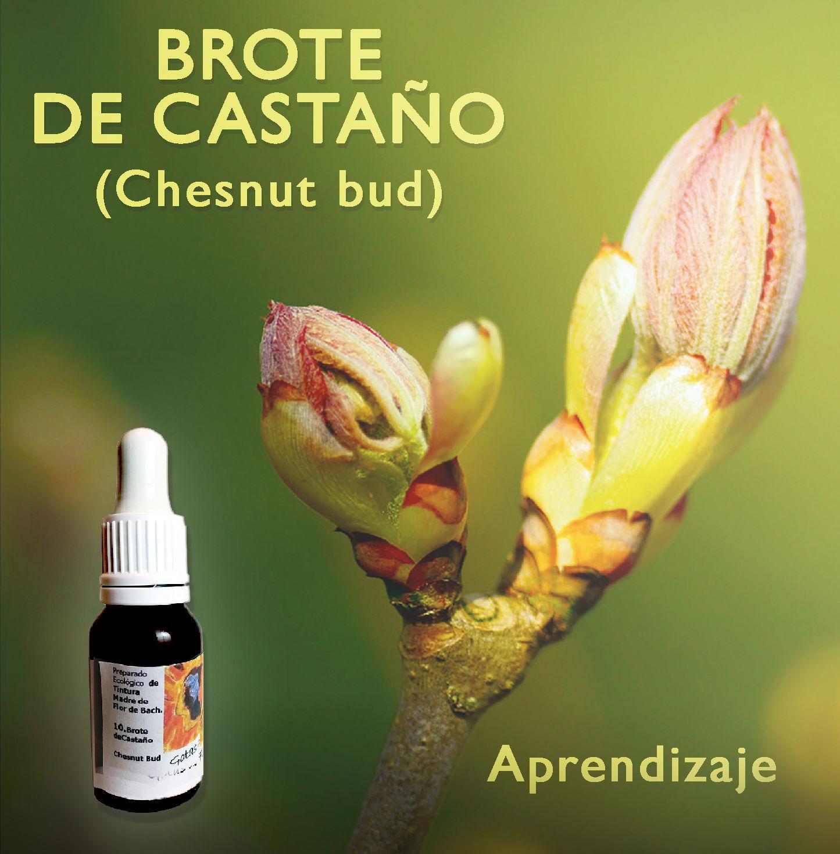 Flores de Bach: Brote de Castaño (Chesnut Bud) - Aprendizaje