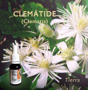 Flores de Bach: Clematide (Clematis) - Tierra