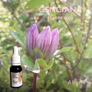 Flores de Bach: Genciana (Gentian) - Alegría