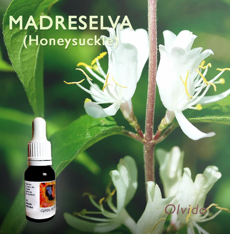 Flores de Bach: Madreselva (Honeysuckle)
