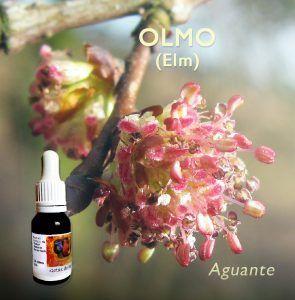 Flores de Bach: Olmo (Elm)
