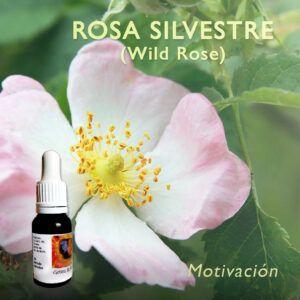 Flores de Bach: Rosa Silvestre (Wild Rose)